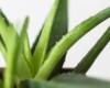 Aloe Vera - der Sauerstoff Lieferant im Schlafzimmer