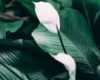 Einblatt (Spathiphyllum) die schöne Zimmerpflanze