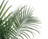 Goldfruchtpalme oder auch Yucca-Palma macht sich prima im Schlafzimmer