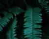Nephrolepis exaltata die Schlafzimmerpflanze die Stress abbaut
