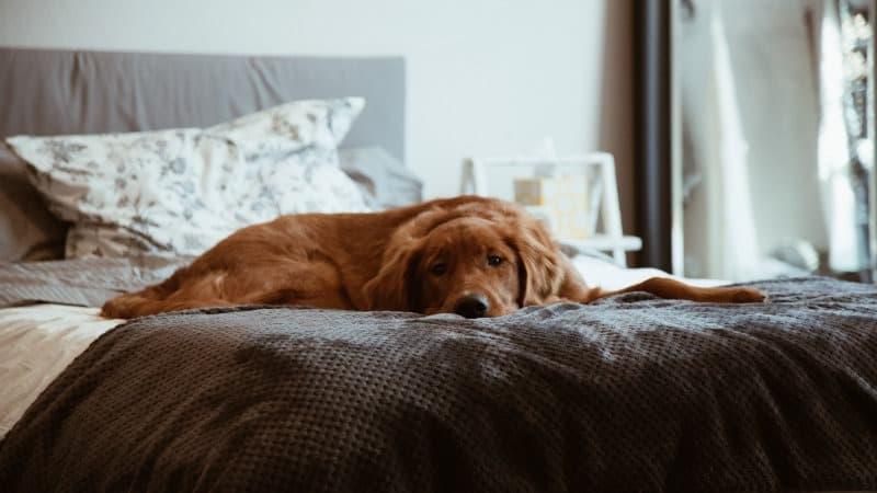 Hund im Schlafzimmer: Nachteile & Vorteile mit einem Hund im Bett