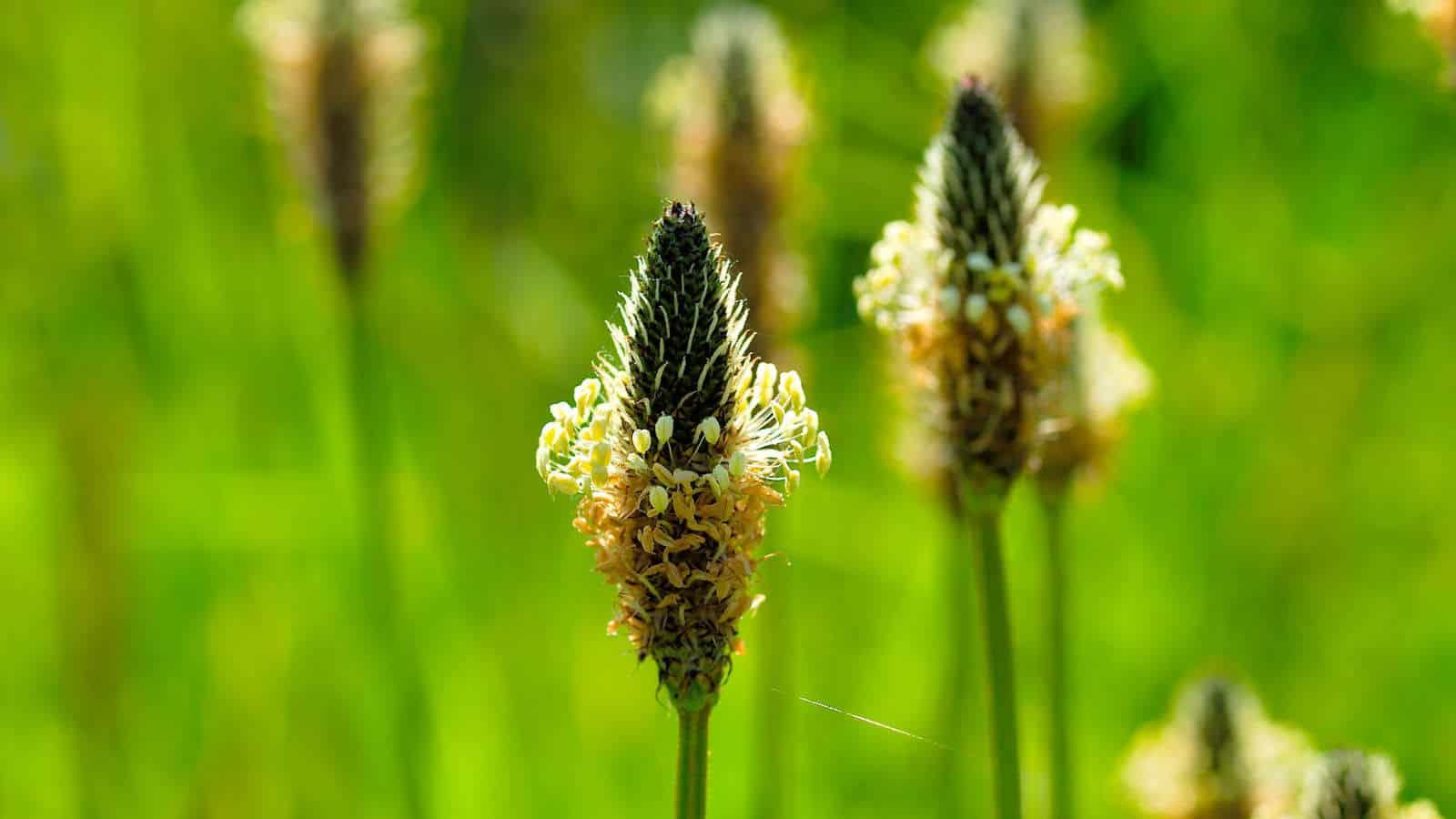 Spitzwegerich Hustensaft- Was kann die Pflanze vom Wegesrand?