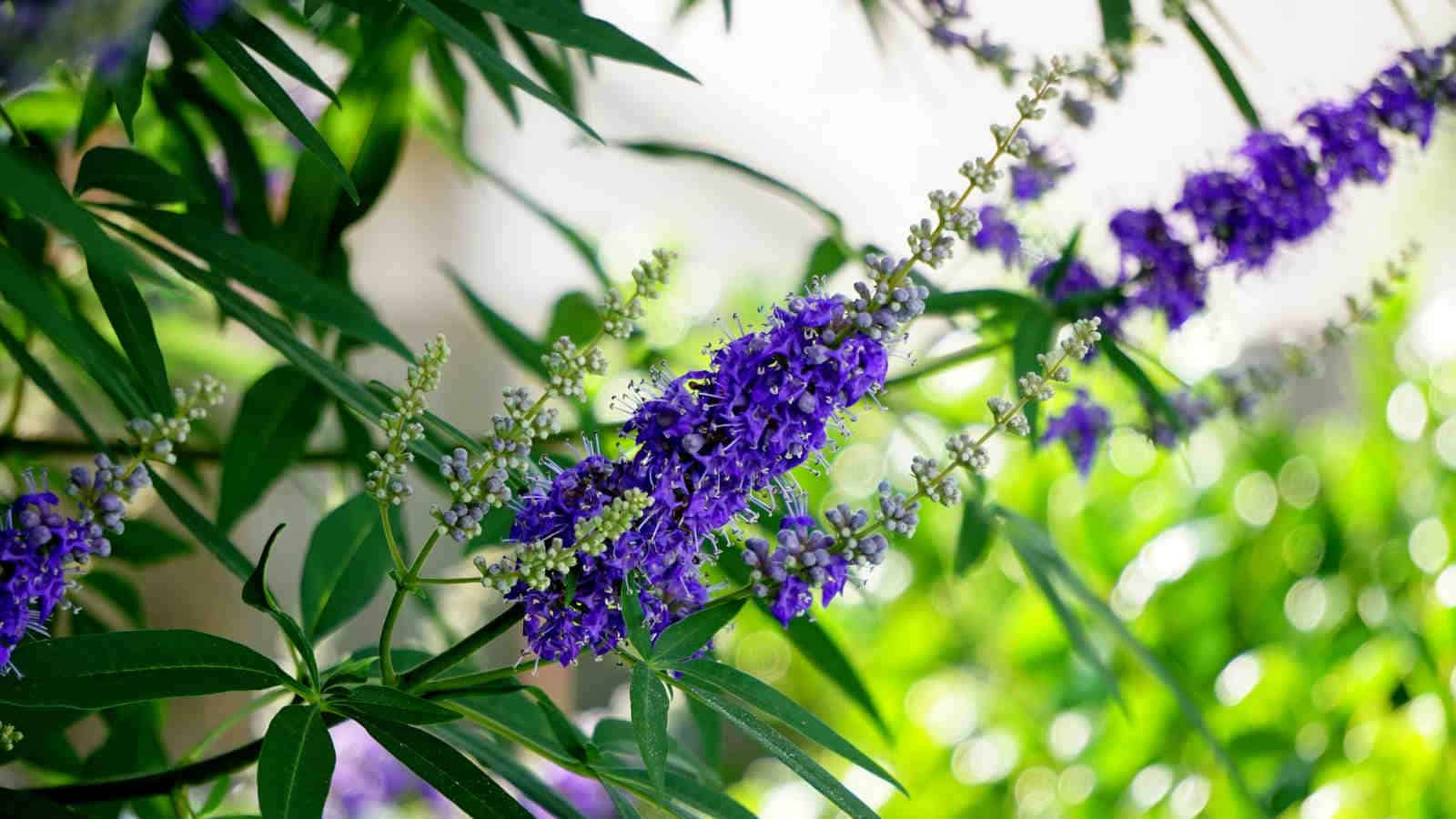 Mönchspfeffer- Die Wunderpflanze bei Frauenleid | Tipps & Ratgeber