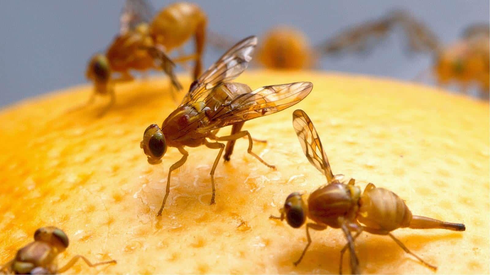 Fruchtfliegen loswerden- Was tun gegen Fruchtfliegen?